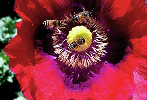 Buzzing A Poppy 004 by George Bostian
