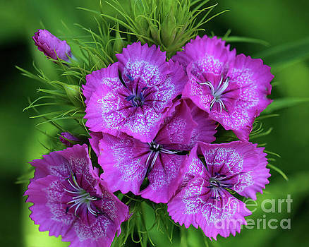 Byzantine Pink Sweet William Flowers 8x10 by Karen Adams
