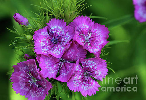 Byzantine Pink Sweet William Flowers by Karen Adams