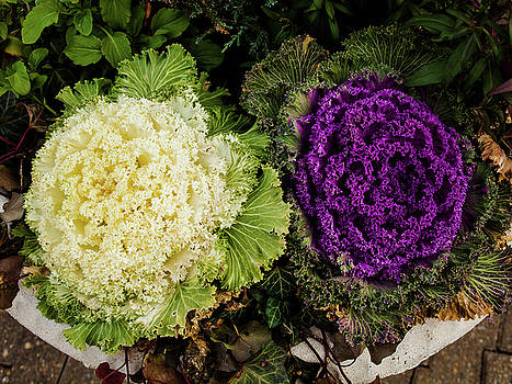 Cabbage Flowers by Randy Sylvia