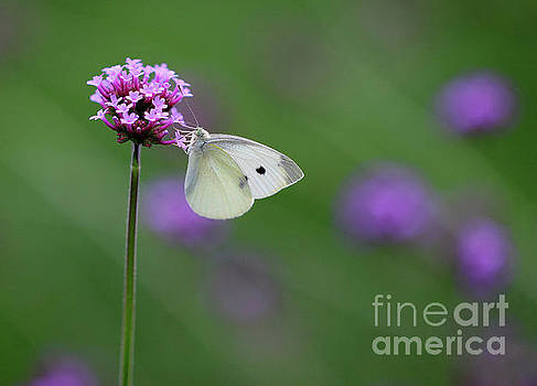 Cabbage White Butterfly Bliss by Karen Adams