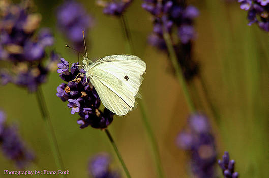 Cabbage White Butterfly by Franz Roth