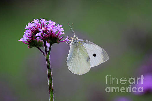 Cabbage White Butterfly Treat by Karen Adams