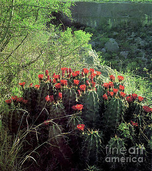 Cactus Flowers 2 by Ruth Housley