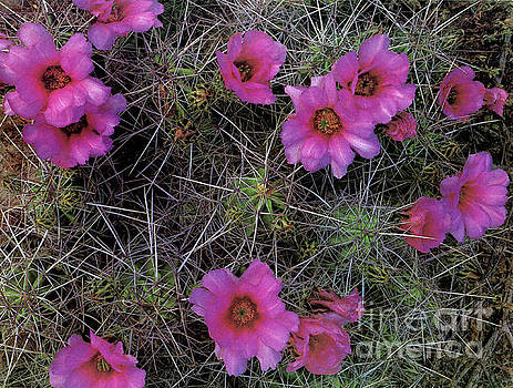 Cactus Flowers  by Ruth Housley