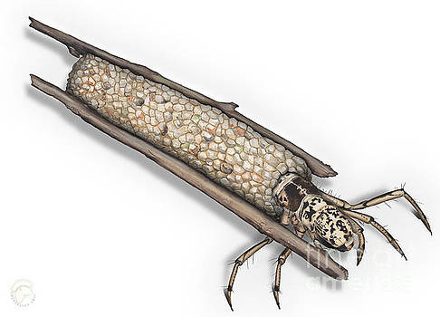 Caddisfly Limnephilidae Anabolia nervosea Larva Nymph -  by Urft Valley Art