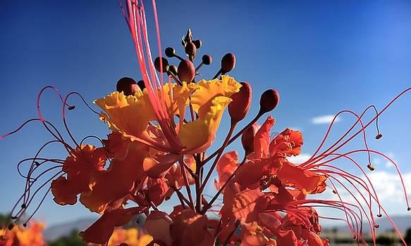 Caesalpinia Bird of Paradise by Chris Tarpening