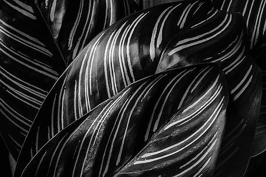 Calathea Leaves Black And White by Garry Gay