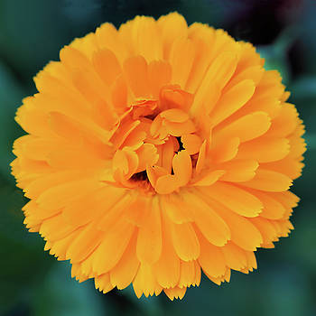 Calendula by Susie Peek