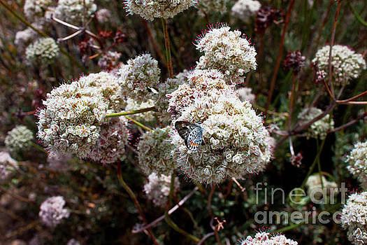 California Buckwheat by Ivete Basso Photography