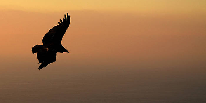 California Condor Flying Out Of The Darkness by Max Allen