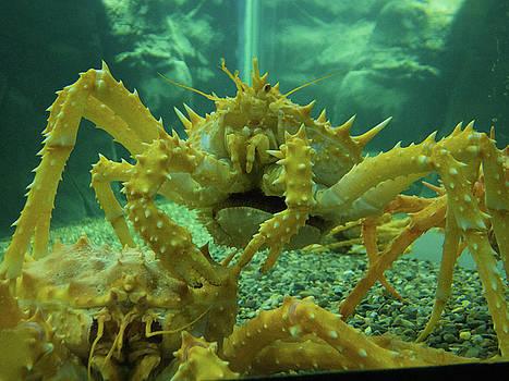 California King Crab by Kimo Fernandez