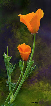 California Poppy - 2 by Thanh Thuy Nguyen