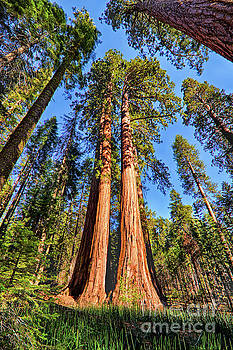 Dan Carmichael - California Redwood and Sequoia Trees