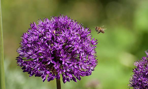 Cambridge Bee by Sherry Fain