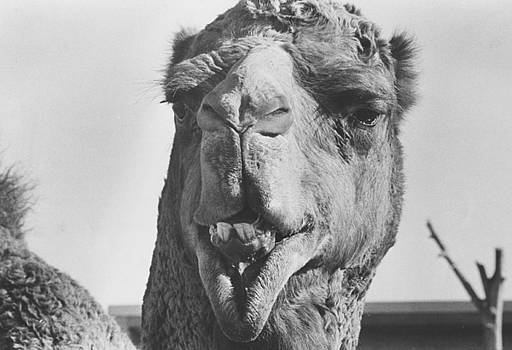 Camel by Jim Wright