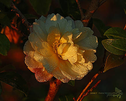 Camellia At Sunset by Janet Pancho Gupta