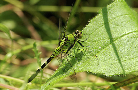 Michael Peychich - Cameo Green Dragonfly