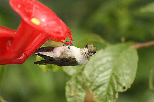 Cathy  Beharriell - Can I Help You Hummingbird
