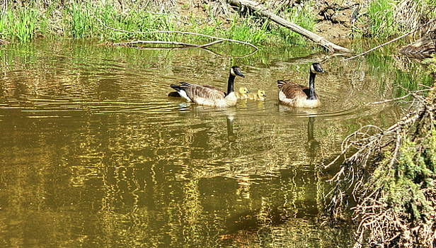 Canada Geese Family by Jim Sauchyn