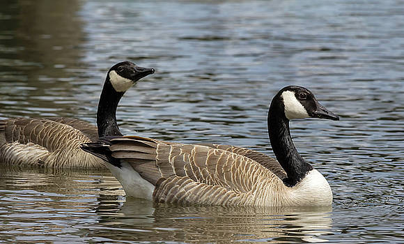 Canada Geese Pair Swimming in Lake by Jit Lim