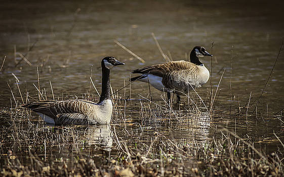 Canada Geese by Ray Congrove