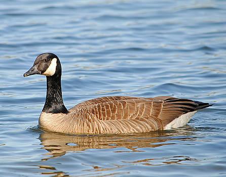 Canada Goose by Carla Mason