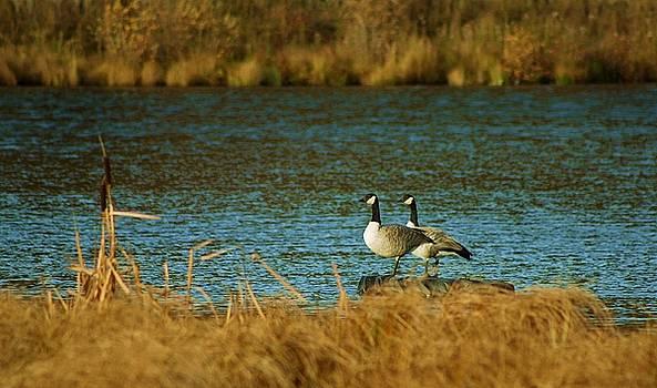 Canada Goose by Mario Brenes Simon
