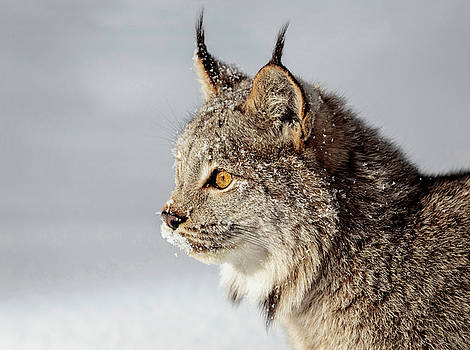 Canada Lynx Up Close D0795 by Wes and Dotty Weber