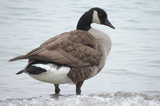 Randy J Heath - Canadian Goose