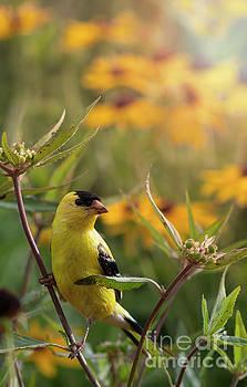 Canary Bird on Wildflowers by Brandon Alms