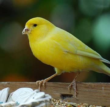 Canary Domesticated by Ramona Whiteaker