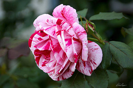 Diana Haronis - Candy Striped Rose