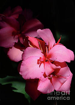 Canna in Pink by Cindy Manero