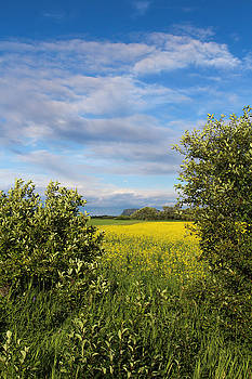 Canola in the Valley by Tingy Wende