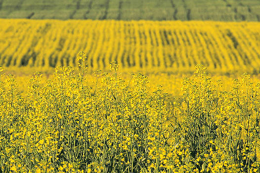 Canola by Tingy Wende