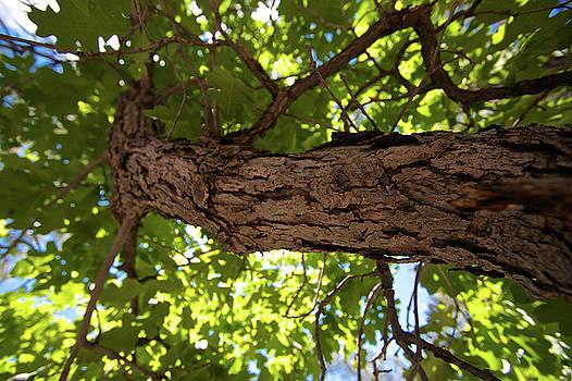 Canopy of Leaves by Brady Lane
