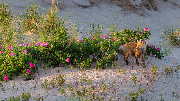 Cape Cod Beach Fox by Bill Wakeley