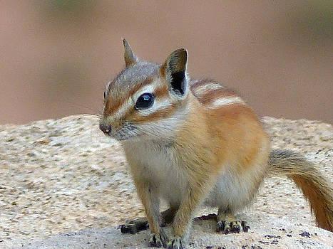 Jeff Brunton - Capital Reef Antelope Squirrel 2
