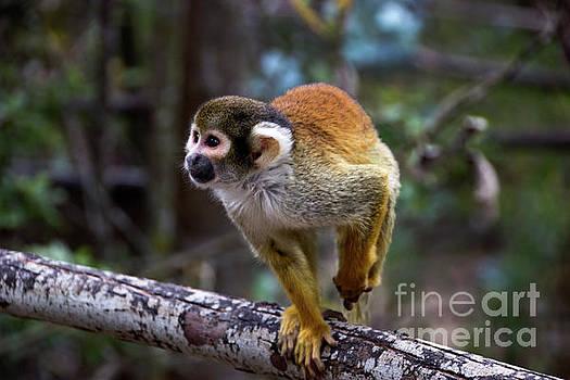 Capuchin Monkey At Amaru by Al Bourassa