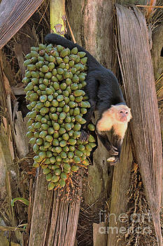 Capuchin Monkey Lunch by Natural Focal Point Photography