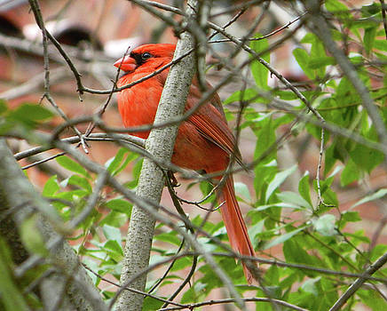 Cardinal Beauty by Emmy Marie Vickers