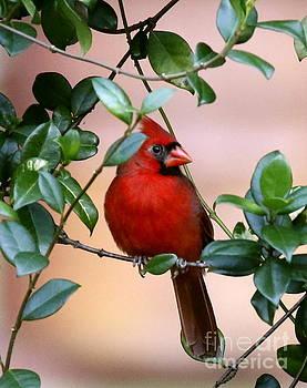Cardinal in the Jasmine by Myrna Bradshaw