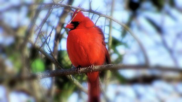 Cardinal in Winter by Cathy Harper