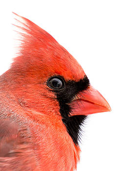 Male Cardinal portrait by Jim Hughes