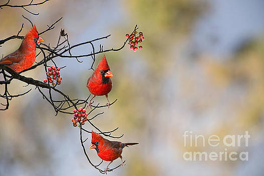 Cardinals on a Branch by Bonnie Barry