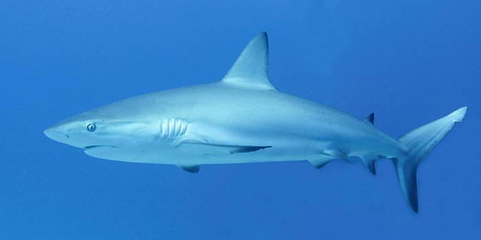 Caribbean Reef Shark by Roupen  Baker