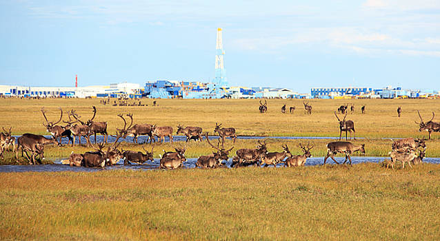 Caribou Herd In Arctic Oilfield by Wyatt Rivard