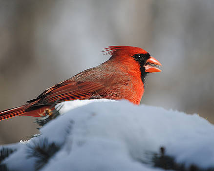 Carl the Cardinal by Pat Thompson