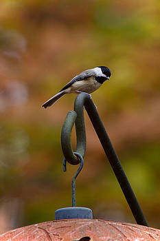 Carolina Chickadee by Robert L Jackson